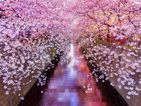 Frühling in Tokio Hanami, eine japanische Tradition